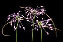 Allium carinatum subsp. carinatum flowers. Julian Alps, Slovenia. July.
