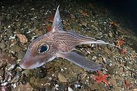 rabbit fish, Chimaera monstrosa, a deepwater holocephalan, Atlantic Ocean