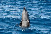 Common Bottlenose Dolphin, Tursiops truncatus, spyhopping, Costa Rica, Pacific Ocean