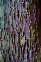 Pacific Madrone (Arbutus menziesii) Bark, Wallace Island, Gulf Islands National Park Preserve, British Columbia, Canada