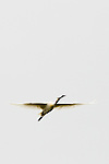 Eurasian Spoonbill (Platalea leucorodia) flying, Bay of Somme, Picardy, France
