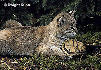 1R07-077z   Bobcat - young bobcat with box turtle - Felis rufus