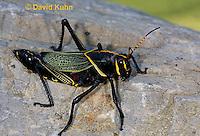 0913-0818  Adult Horse Lubber Grasshopper - Taeniopoda eques © David Kuhn/Dwight Kuhn Photography.