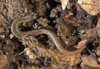 California slender salamander, Batrachoseps attenuatus. Mount Diablo State Park, California