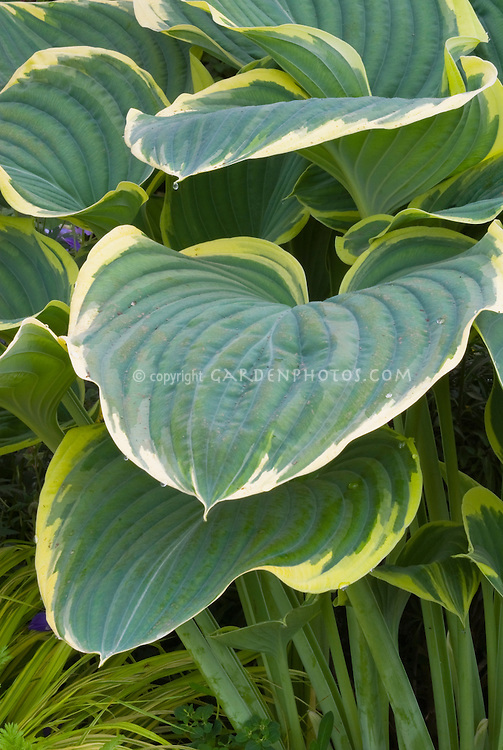 Hosta Sagae 2000 Hosta of the Year, variegated foliage perennial plant for shade gardens, blue-green bold leaves with cream yellow edges
