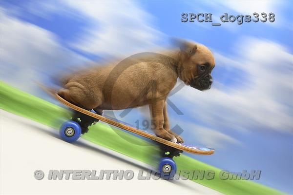 Xavier, ANIMALS, dogs, photos(SPCHdogs338,#A#) Hunde, perros