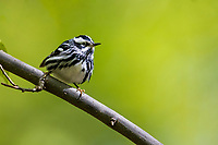Black-and-white Warbler (Mniotilta varia), male, a spring migrant to Central Park, New York City, New York.