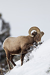 Bighorn Sheep (Ovis canadensis) ram digging up shrub in winter, Lamar Valley, Yellowstone National Park, Wyoming