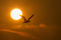 USA, Washington. A sea gull flying in front of a setting sun in San Juan Islands.