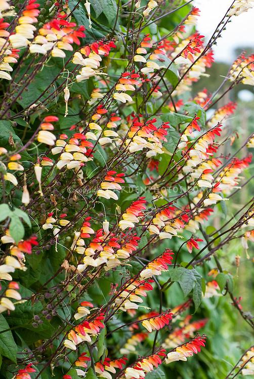 Ipomoea lobata TN100 aka Mina lobata, in cream and red and yellow flowers