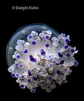 EC15-503z  Mediterranian Jellyfish swimming in ocean, Cotylorhiza tuberculata