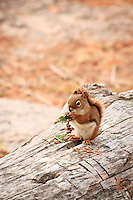 """""""The Harvest""""<br /> <br /> A red squirrel enjoys a cedar harvest on a nearby log at Lake Agnes in the BWCA."""
