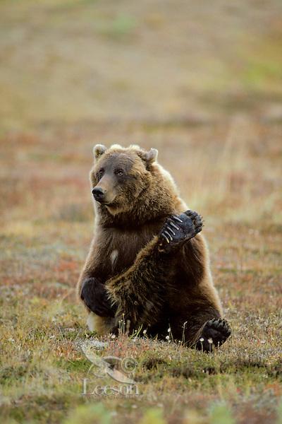Grizzly Bear scratching his leg.  Alaskan tundra.