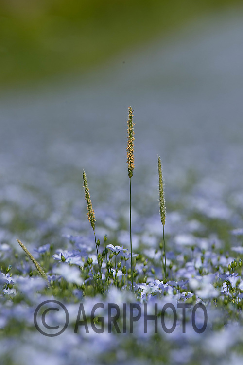 5-6-2021 Black-Grass growing in a flowering crop of linseed <br /> ©Tim Scrivener Photographer 07850 303986<br />      ....Covering Agriculture In The UK....