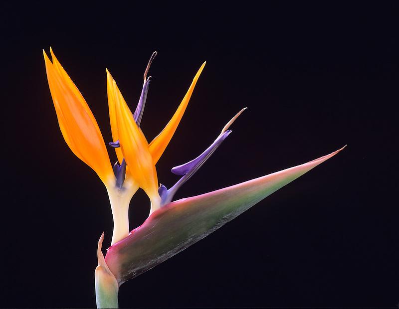 Bird of Paradise (strelitzia reginea). Maui, Hawaii.
