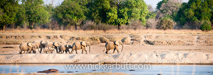 Matriachal herd of African Elephants (Loxononta africana) on the banks of the Luangwa River ar dusk. South Luangwa National Park, Zambia.