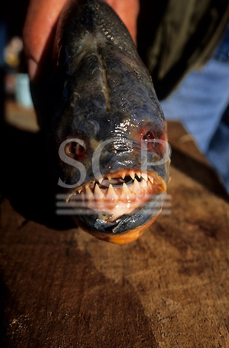 Pantanal, Mato Grosso, Brazil. Large Piranha fish with sharp teeth.
