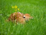Newborn fawn in the grass in springtime.