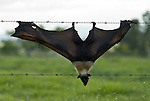 Spectacled Flying Fox killed in barb-wired fence (Pteropus conspicillatus)