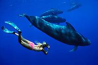 snorkeler and short-finned pilot whales, Globicephala macrorhynchus, off Kona Coast, Big Island, Hawaii, Pacific Ocean