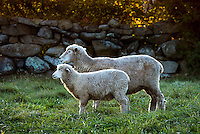 Sheep in a pasture, Martha's Vineyard, Massachusetts,, USA