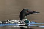 Common Loon swimming on a northern Wisconsin lake