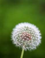 dandelion flower, parachute ball against green backdrop