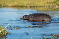 Africa, Botswana, Okavango Delta, Khwai private  reserve. Hippo.