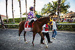 HALLANDALE FL - FEBRUARY 27: Fellowship #1, ridden by Jose Lezcano walks to the track for the Xpressbet.com Fountain of Youth Stakes at Gulfstream Park on February 27, 2016 in Hallandale, Florida.(Photo by Alex Evers/Eclipse Sportswire/Getty Images)
