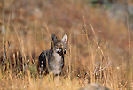 Coyote, Yellowstone National Park, Montana