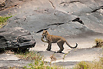 A leopard carries a lizard in Maasai Mara in Kenya.
