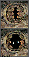 0508-08zz  Eye Slit Comparison in Bright Light (top image) versus Dark Light (bottom image) from images 0508-08zA and 0508-08zB, Flat-tailed House Gecko, Cosymbotus platyurus © David Kuhn/Dwight Kuhn Photography