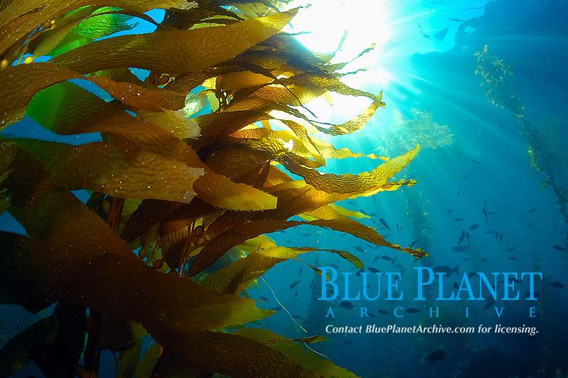 Giant kelp, Macrocystis pyrifera and school of blacksmith, Chromis punctipinnis, Catalina Island, California, USA, Pacific Ocean