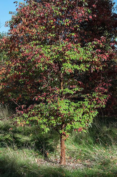 Paper-bark maple (Acer griseum), late October.