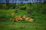 Lions (Panthera leo) in Serengeti National Park - Tanzania