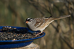 White-crowned sparrow (Zonotrichia leucophrys) eating birdseed