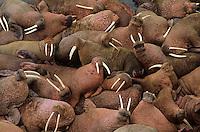 Male walruses basking on Round Island, Walrus Islands State Game Sanctuary, Alaska, AGPix_0194.