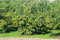 A road side lemon tree with ripe yellow lemons. Uruguay, South America