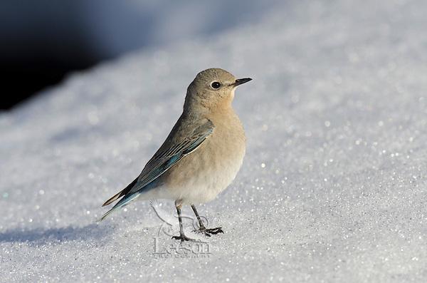 Female Mountain Bluebird (Sialia currucoides) resting on snowbank.  Western U.S., May..