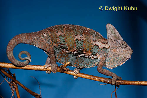 CH39-530z  Male Veiled Chameleon in display colors, Chamaeleo calyptratus