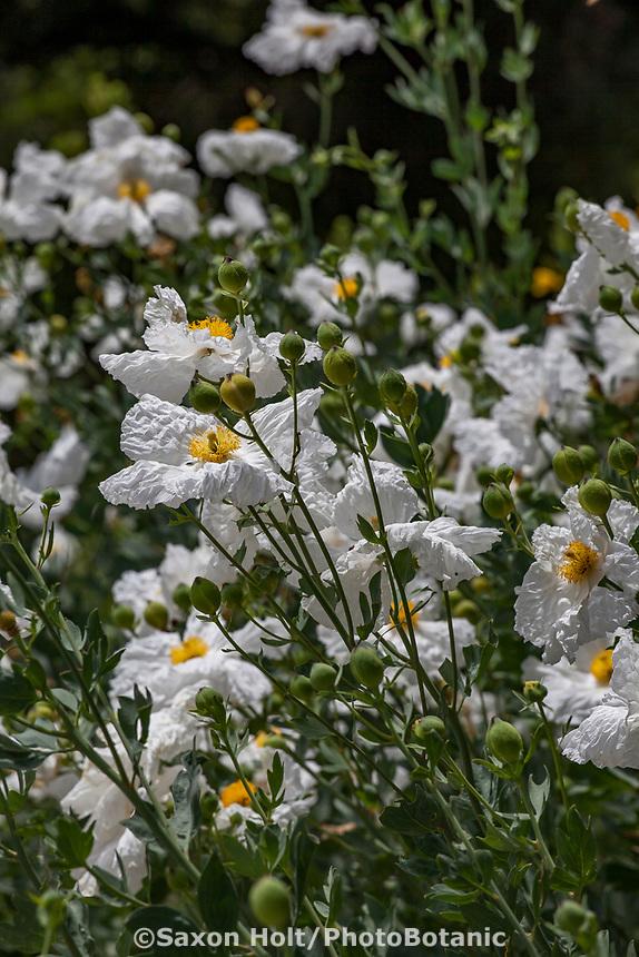 Romneya 'White Cloud' (R. coulteri x  trichocalyx) - Matilija Poppy flowering California native perennial at Tree of Life Nursery