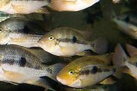 threadfin acara, family: Cichlidae, Acarichthys neckelii, (c)