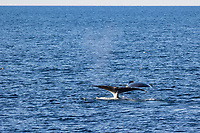bowhead whale, Balaena mysticetus, pair, Franz Josef Land, Arctic Circle, Russia, Barents Sea, Arctic Ocean