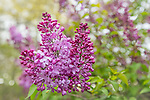 Lilacs at the Arnold Arboretum in the Jamaica Plain neighborhood, Boston, Massachusetts, USA