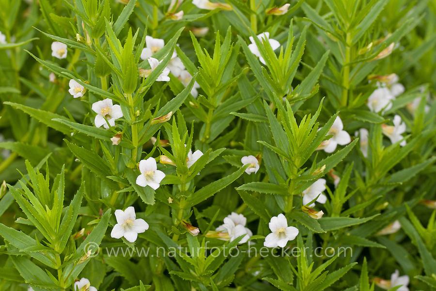 "Gnadenkraut, Gottes-Gnadenkraut, Gratiola officinalis, Hedge Hyssop, Hedge-Hyssop, Common Hedgehyssop, ""Herb of Grace"""