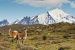 Guanaco (Lama guanicoe) pair in pre-andean shrubland, Torres del Paine National Park, Patagonia, Chile