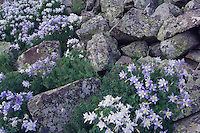 Wildflowers between rock boulders,Blue Columbine,Colorado Columbine,Aquilegia coerulea, Ledge Stonecrop, Ouray, San Juan Mountains, Rocky Mountains, Colorado, USA, July 2007
