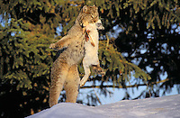 Lynx with snowshoe hare - main food source. Winter. Rocky Mountains. North America. Felis lynx canadensis.