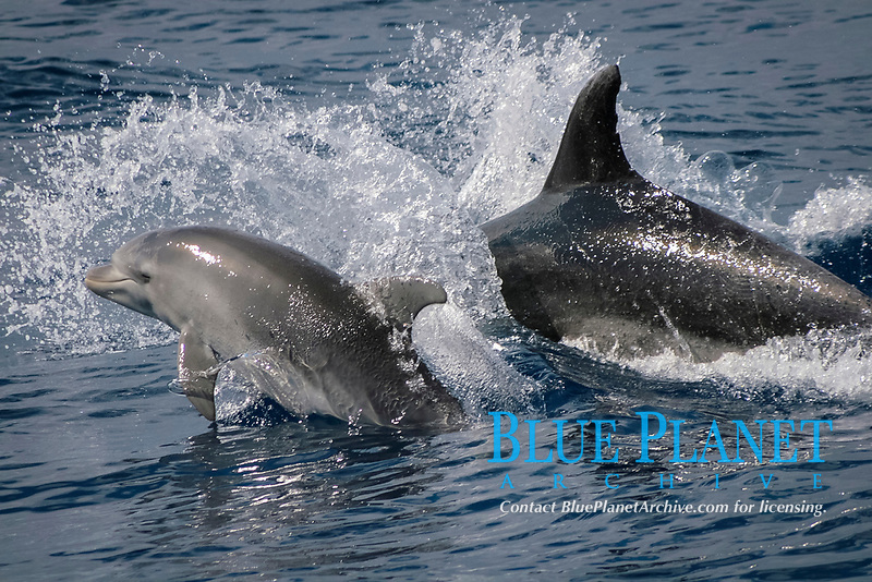 Calf, bottlenose dolphin, Tursiops truncatus, Azores Islands, Portugal, North Atlantic