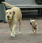 """""""Sophia"""" (right) the under dog seem to be a little upset  at (smiling)  """"Scooter"""" the golden retriever because of his advantage in getting the prized tennis ball during their walk at Huntington Park, Nob Hill, San Francisco."""